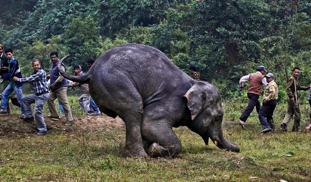 A crowd gathers to watch an injured wild elephant struggle to stand December 10, 2012. The animal was attacked by poachers last week in the Pancharatna hills in Assam, India. Poachers cut off the elephant's two tusks and tail, but the elephant is expected to survive according to local animal officials. (Photo by Anupam Nath/Associated Press)