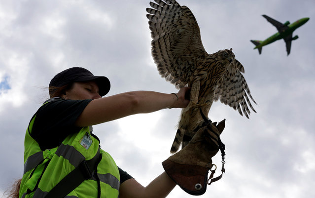 Employee of ornithological flight support service Nika Ryzhova-Alenicheva holds her hawk, which is used to control fauna to avoid bird strikes during takeoffs and landings, at Domodedovo airport outside Moscow, Russia September 2, 2016. (Photo by Maxim Zmeyev/Reuters)