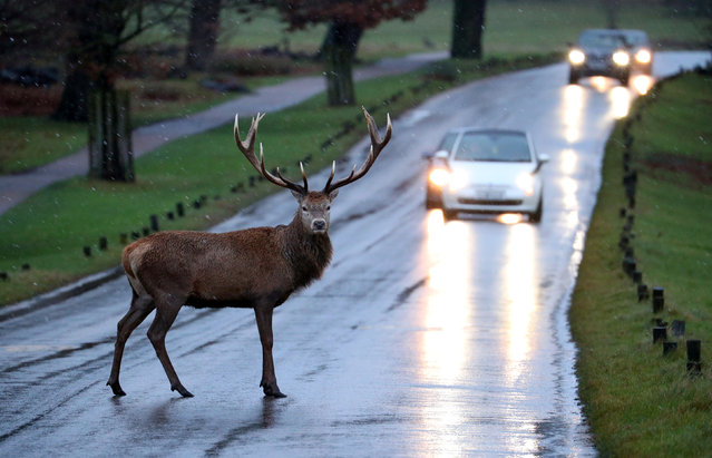 A stag deer stands in the road in Richmond Park, in west London, Britain, December 27, 2017. (Photo by Hannah McKay/Reuters)