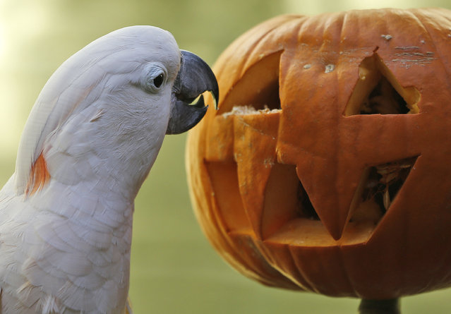 Moluccan cockatoo Zeppy looks for treats inside a pumpkin at the Oklahoma City Zoo in Oklahoma City, Friday, October 17, 2014. The Zoo was established in 1904 as a small menagerie at Wheeler Park. (Photo by Sue Ogrocki/AP Photo)