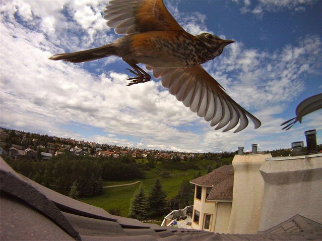 """Bird watching with GoPro's Timelapse Mode! by Auzzy Hunter. Auzzy Hunter caught this amazing image quite by accident while doing a timelapse of the sky from the roof of his building. What luck!"". (Photo by Auzzy Hunter)"