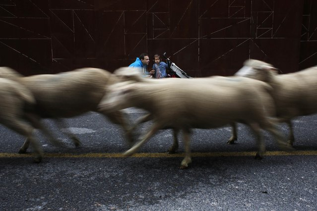 A girl reacts as sheep run past her during the annual sheep parade through Madrid November 2, 2014. (Photo by Susana Vera/Reuters)