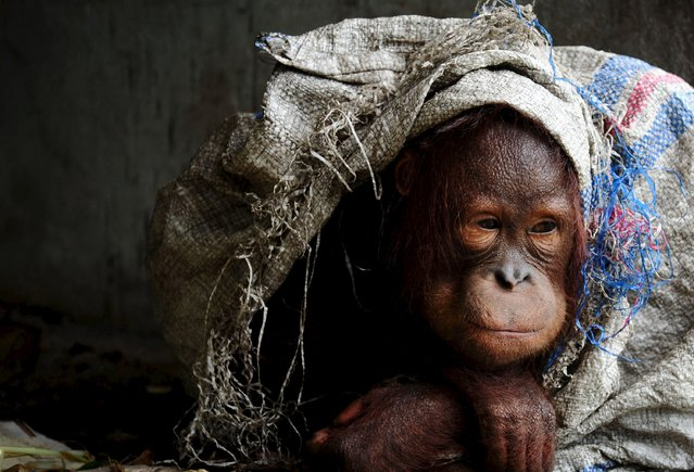 A male orangutan kept as a pet protects himself with sack at the owner's home in the village of Korek, in Kubu Raya, Indonesia West Kalimantan province, October 6, 2015 in this picture taken by Antara Foto. Government officials confiscated the orangutan kept as a pet by a resident to relocate it to an orangutan center, local media said on Tuesday. (Photo by Jessica Helena Wuysang/Reuters/Antara Foto)