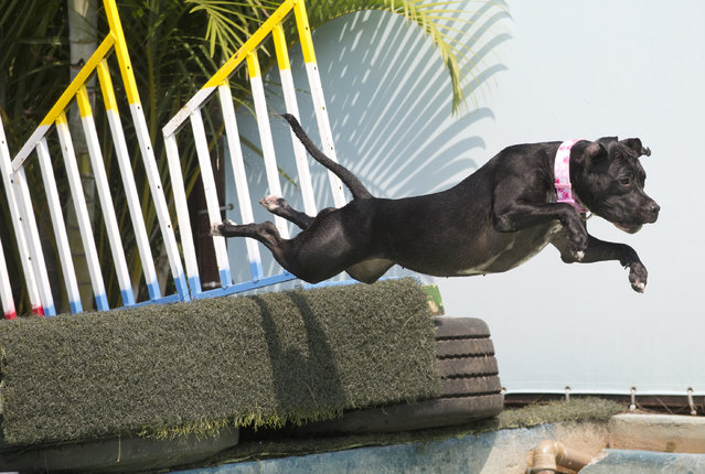 """Dog """"Zaia"""" participates in the jumping competition during the Dog Olympic Games in Rio de Janeiro, Brazil, Sunday, September 18, 2016. (Photo by Silvia Izquierdo/AP Photo)"""