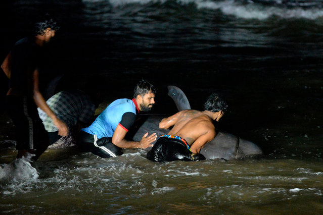 Sri Lankan volunteers try to push back a stranded short-finned pilot whale at the Panadura beach, 25 km south of the capital Colombo on November 2, 2020. Dozens of pilot whales washed ashore in Sri Lanka, officials said as volunteers struggled to push the animals back into deeper waters of the Indian Ocean and rescue them. (Photo by  Lakruwan Wanniarachchi/AFP Photo)