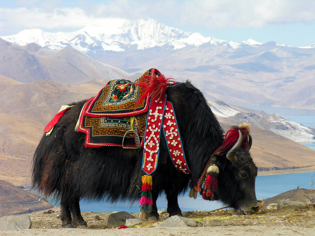 Yak near Yamdrok lake, Tibet. It is a long-haired bovinae found throughout the Himalayan region of south Central Asia, the Tibetan Plateau and as far north as Mongolia and Russia. The Tibetan economy is dominated by subsistence agriculture. Due to limited arable land, the primary occupation of the Tibetan Plateau is raising livestock, such as sheep, cattle, goats, camels, yaks, dzo, and horses. The Tibetan yak is an integral part of Tibetan life. (Photo by Dennis Jarvis)