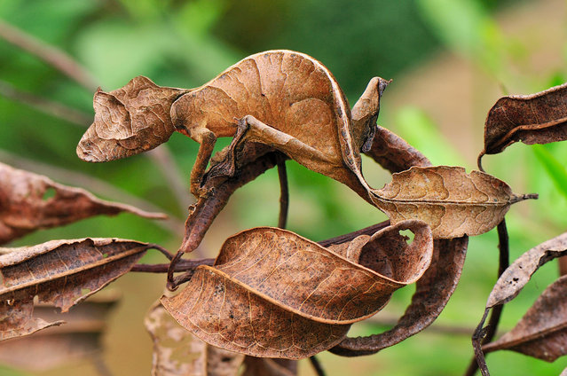 Is it a leaf? Is it tree bark? No, it's the Satanic leaf-tailed gecko. Cleverly disguised as a rotting leaf, Madagascar's camouflage king has red eyes, pointy horns and a taste for night hunting: it's nature's most devilish deceiver. (Photo by Thomas Marent/ARDEA)