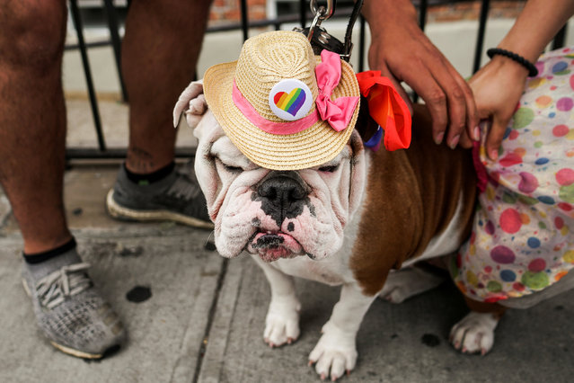 A dog is seen during the Pride day parade in the Queens borough of New York City, New York, U.S., June 3, 2018. (Photo by Go Nakamura/Reuters)