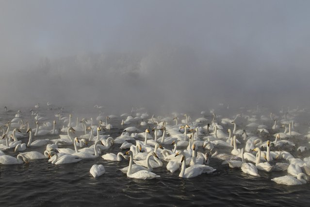 Swans swim over a lake, with the air temperature at about minus 35 degrees Celsius (minus 31 degrees Fahrenheit) as steam ascends above the water during sunset near the village of Urozhainy, Sovetsky district of Altai region, January 26, 2015. (Photo by Andrei Kasprishin/Reuters)