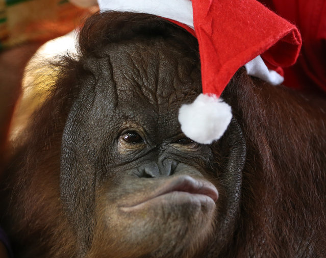 "Thirteen-year-old orangutan named ""Pacquiao"" reaches for the tip of his Santa Claus hat during the ""Animal Christmas Party"" at the Malabon Zoo in Malabon City, north of Manila, Philippines, December 21, 2015. The Malabon Zoo is one of the largest private collections of exotic and endemic animals in the Philippines. (Photo by Mark R. Cristino/EPA)"