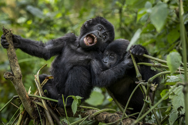 Two one-year old baby mountain gorillas play together in the forest of Bwindi Impenetrable National Park in southwestern Uganda on Saturday, April 3, 2021. (Photo by AP Photo/Stringer)