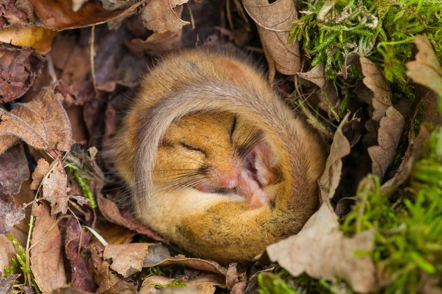Curled up tight in a little ball in a bed of autumn leaves, this adorable Dormouse has a snooze in the Yorkshire Dales National Park, on Oktober 12, 2013. (Photo by Simon Phillpotts/HotSpot Media)