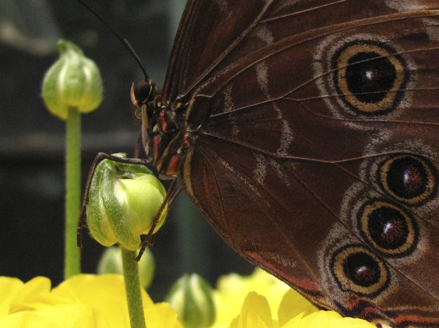 A common blue morpho butterfly lands on a flower as it and hundreds of other butterflies from around the world fill the bird aviary for the next month at the San Diego Zoo Safari Park in San Diego, California March 13, 2015. (Photo by Mike Blake/Reuters)
