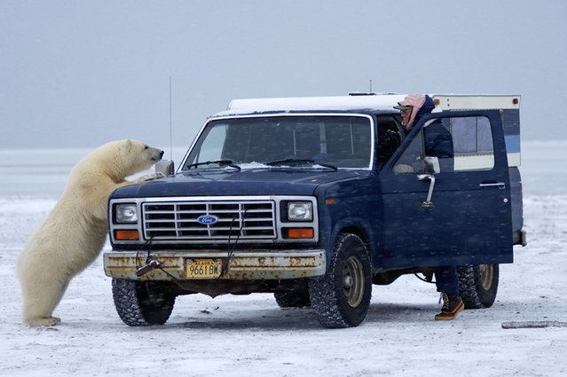 """""""Awright mate, any chance of a lift to the North Pole?"""" (Photo by Steven Kazlowski/Barcroft Media)"""
