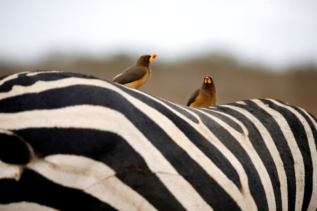 Birds sit on the back of a zebra in the Nairobi National Park, near Nairobi, Kenya, November 21, 2018. (Photo by Baz Ratner/Reuters)