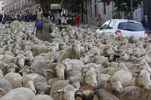 A shepherd tries to guide a flock of sheep that turned around as they were driven through central Madrid, Spain, October 21, 2018. Shepherds guided sheep through the Madrid streets in defence of ancient grazing and migration rights increasingly threatened by urban sprawl and modern agricultural practices. (Photo by Paul White/AP Photo)