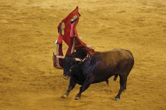 Spanish bullfighter Miguel Angel Perera is tackled by a bull during a bullfight at the Malagueta bullring in Malaga, southern Spain, April 4, 2015. (Photo by Jon Nazca/Reuters)