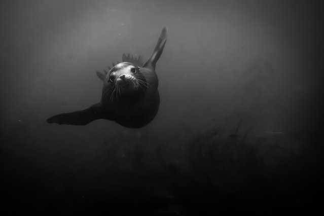 """""""Fly By"""". A California sea lion makes a gentle pass to reward her curiosity. Photo location: La Jolla, Califonia. (Photo and caption by Ralph Pace/National Geographic Photo Contest)"""