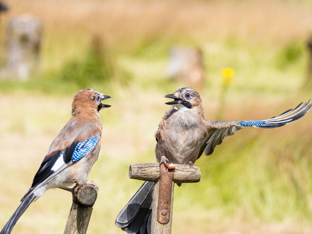 A small family of Jays perched on garden tools in Aberystwyth, Wales on August 8, 2021. (Photo by Philip Jones/Alamy Live News)