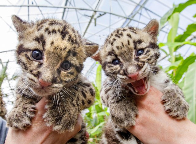 Baby clouded leopards, born early in March 2015 are presented by zoo keepers at the Olmense Zoo in Olmen, Belgium, April 16, 2015. The clouded leopard is an endangered species with only some 10,000 specimen remaining on earth, said Robby Van der Velden, a biologist at the Olmense Zoo. (Photo by Yves Herman/Reuters)