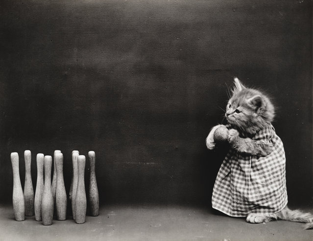 Photograph shows a kitten preparing to bowl, 1914. (Photo by Harry Whittier Frees/Library of Congress)