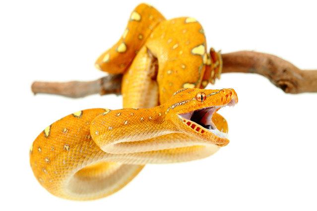 Tree Python (Morelia Viridis Cyclops). (Photo by Mickael Leger/Caters News)