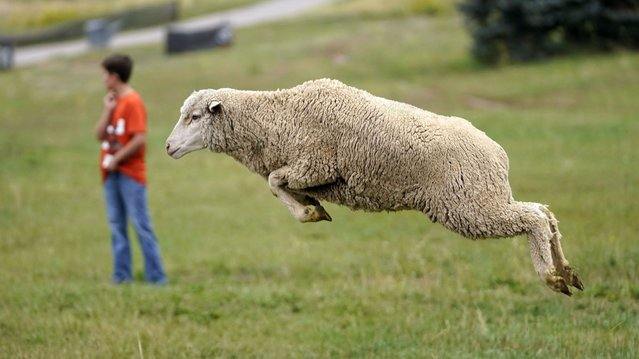 A sheep leaps from a truck for this weekend's annual Soldier Hollow Classic Sheepdog Championship Wednesday, September 1, 2021, in Midway, Utah. A herd of sheep was unloaded at the Soldier Hollow Nordic Center in preparation for the 2021 Soldier Hollow Classic Sheepdog Championship, which runs Friday, Saturday, Sunday and Monday. The annual competition, tests the herding skills of some of the world's most highly trained border collies and their handlers. (Photo by Rick Bowmer/AP Photo)