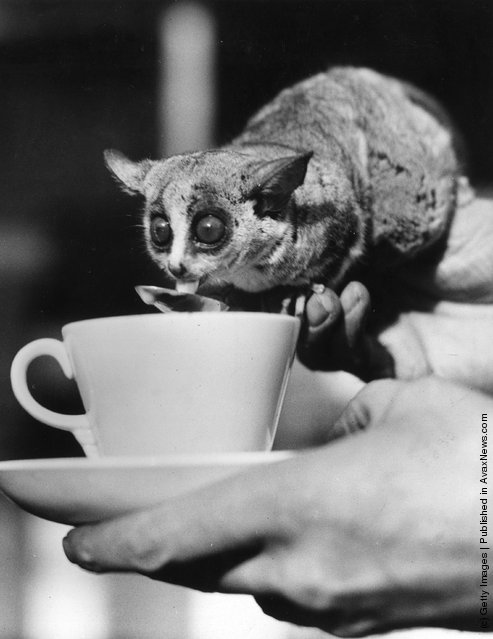 Wilfred a South African bush baby in London Zoo enjoys his morning cocoa from a teaspoon, 1938