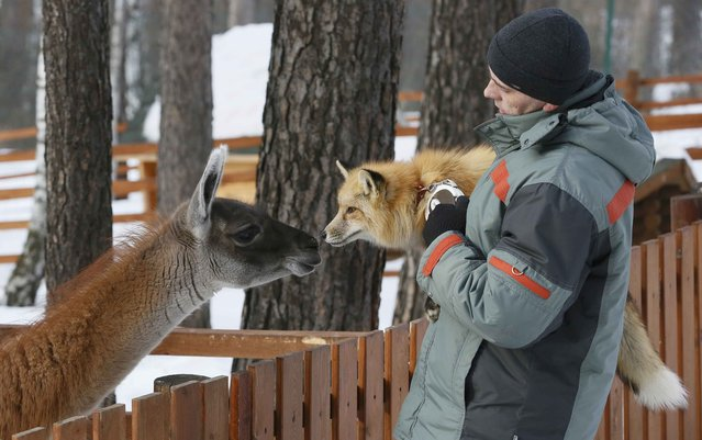 Zoo employee Vyacheslav Barkalov walks with Ralf, an 11-month-old red fox, next to guanaco Bella in an open air cage during Ralf's training session, which is a part of a programme of taming wild animals for research and interaction with visitors, at the Royev Ruchey Zoo in Krasnoyarsk, Siberia, Russia February 8, 2017. Ralf was born at the Institute of Cytology and Genetics (ICG) in Novosibirsk, which experimented on fox domestication through long-term selection and breeding for more than 50 years, according to zoo representatives. (Photo by Ilya Naymushin/Reuters)