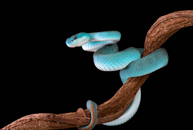 White-lipped island pit viper (Trimeresurus albolabris insularis). (Photo by Matthijs Kuijpers/The Guardian)
