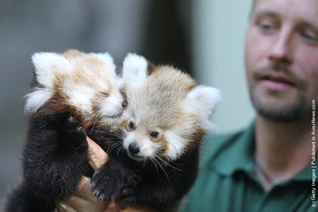 Twin Baby Red Pandas