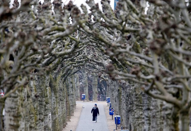 A woman strolls along an alley of plane trees in Frankfurt, Germany, March 16, 2016. (Photo by Michael Probst/AP Photo)