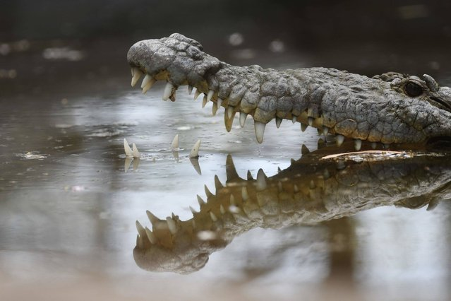 """A crocodile (Crocodylidae) is pictured at """"El Tronador"""" Wildlife Rescue Center in Berlin, 107 kilometres southwest of San Salvador on February 20, 2017. Undangered species victims of trafficking, are rescued and rehabilitated at a shelter supported by a Salvadorean geothermic energy company, with the aim of releasing them into the wild and contribute to the conservation of native species. (Photo by Marvin Recinos/AFP Photo)"""