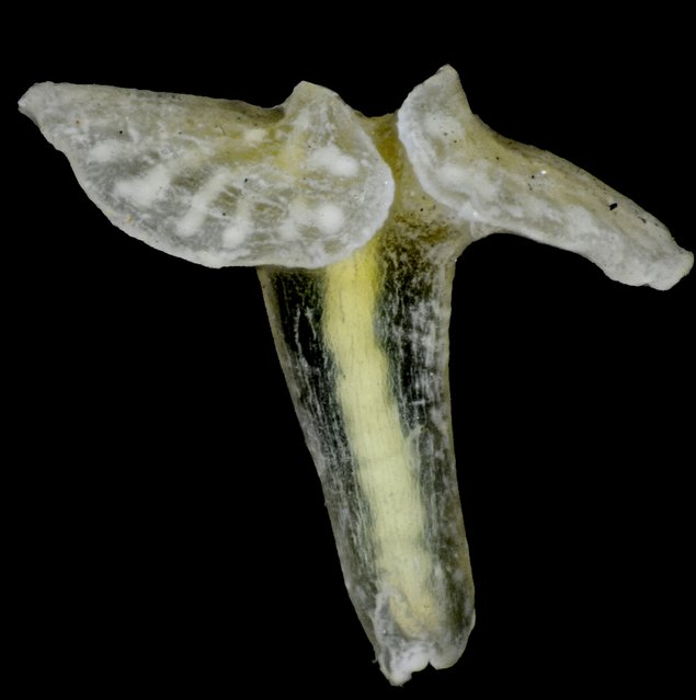 """Dendrogramma enigmaticais seen in this undated handout picture obtained by Reuters May 21, 2015. 2. D. enigmatica is one of SUNY College of Environmental Science and Forestry's """"Top 10"""" species discovered in 2014. (Photo by Jørgen Olesen/Reuters)"""