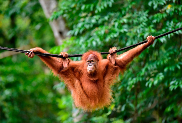 """This picture taken on June 18, 2019 shows a young Sumatran orangutan named Elaine swinging on a line at the forest reserve in Jantho. Five-year-old Elaine and another four-year-old primate spent nearly two years learning to fend for themselves at a rehabilitation centre and """"forest school"""" before being returned to the wild at Pinus Jantho Forest Reserve. (Photo by Chaideer Mahyuddin/AFP Photo)"""