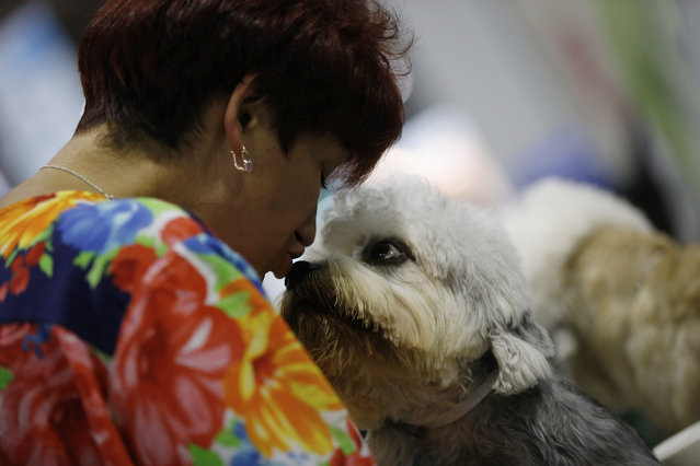 A Dandy Dinnmont Terrier is kissed by its owner at the World Dog Show in Rho, near Milan, Italy, Saturday, June 13, 2015.  (AP Photo/Luca Bruno)