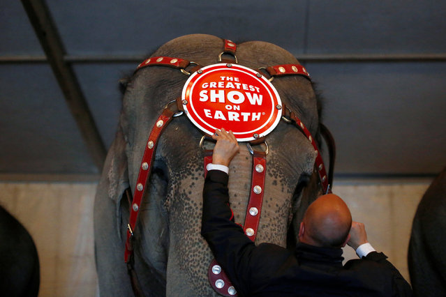 """Senior Elephant Handler Ryan Henning attaches a headdress to an elephant in preparation for a performance at Ringling Bros and Barnum & Bailey Circus' """"Circus Extreme"""" show at the Mohegan Sun Arena at Casey Plaza in Wilkes-Barre, Pennsylvania, U.S., April 29, 2016. (Photo by Andrew Kelly/Reuters)"""