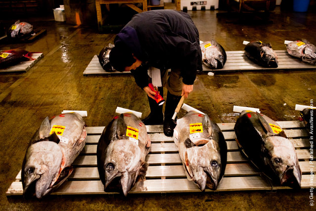 A potential bidder carefully examines pieces of Tuna in order to ascertain the quality and to estimate its price ahead of the Tuna auction at the Tsukiji fish market