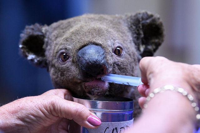 A dehydrated and injured Koala receives treatment at the Port Macquarie Koala Hospital in Port Macquarie on November 2, 2019, after its rescue from a bushfire that has ravaged an area of over 2,000 hectares. Hundreds of koalas are feared to have burned to death in an out-of-control bushfire on Australia's east coast, wildlife authorities said October 30. (Photo by Saeed Khan/AFP Photo)