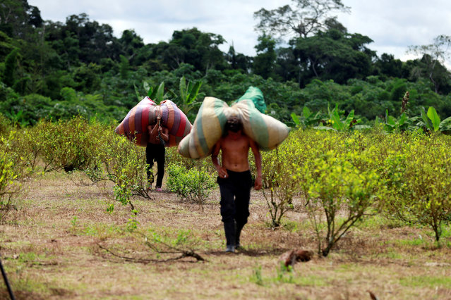 Raspachines, workers who collect coca leaves, carry bags with harvested leaves to be processed into coca paste, on a coca farm in Guayabero, Guaviare province, Colombia, May 23, 2016. (Photo by John Vizcaino/Reuters)