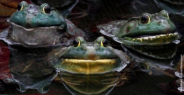 Frogs rest in a pond where they are being raised as food inside a factory on the outskirts of Pyongyang, North Korea, April 10, 2012