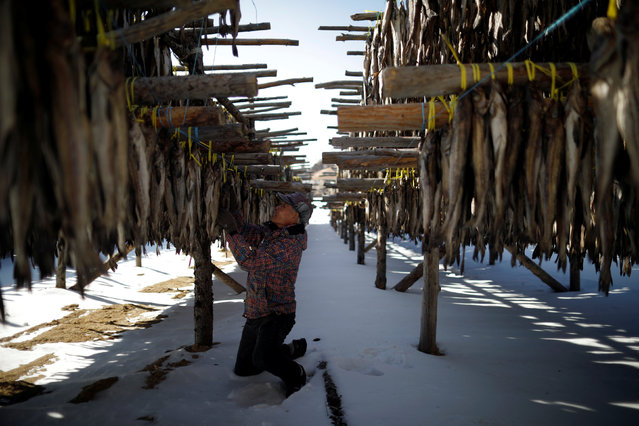 A man works on dried pollack, near the venue for the opening and closing ceremony of the PyeongChang 2018 Winter Olympic Games in Pyeongchang, South Korea, February 10, 2017. (Photo by Kim Hong-Ji/Reuters)