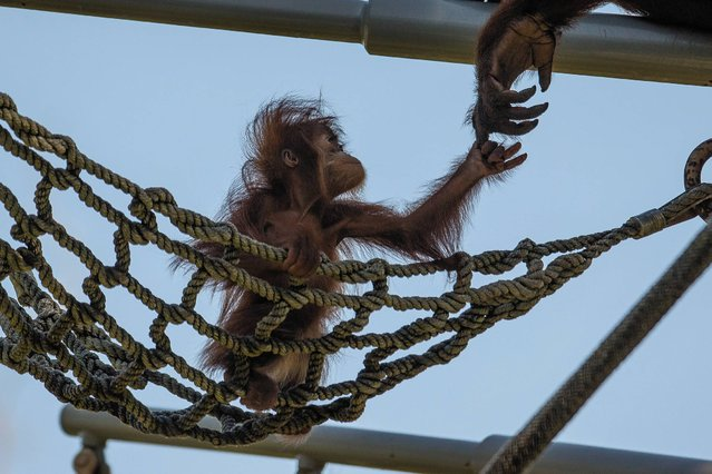 In this photo provided by the San Diego Zoo, an orangutan youngster reaches up to her mother as she explores a net climbing area at the San Diego Zoo in San Diego, on Monday, July 7, 2014. At just a little over 8 months old the playful youngster, named Aisha, is beginning to explore her habitat, never venturing more than 10 feet from her mother. (Photo by AP Photo/San Diego Zoo)