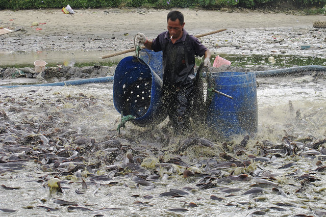 A worker collects catfish for disposal in a polluted pond in Haikou, Hainan province, September 10, 2013. Local government acted to kill all catfish at the fishpond after the water inside the pond were tested below standards, according to local media. (Photo by Reuters/Stringer)