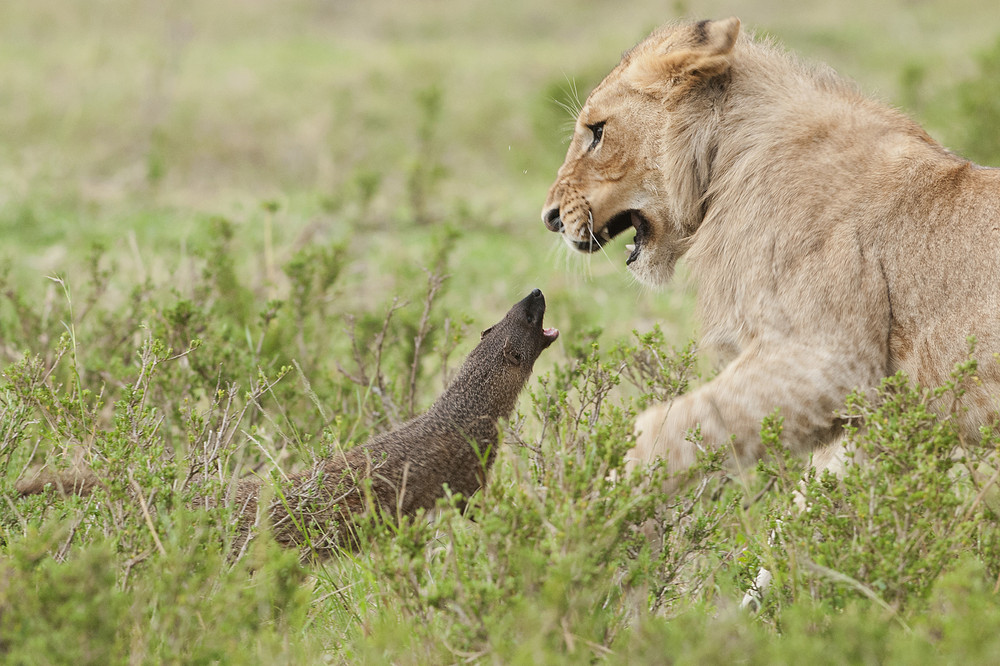 A Mongoose vs Four Lions