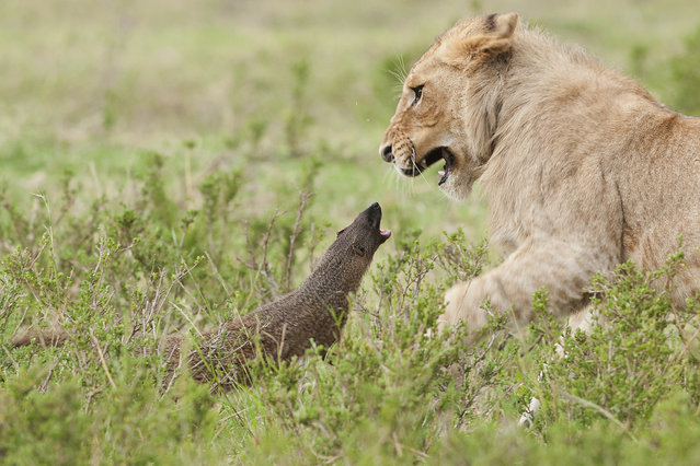 A mongoose growls at a startled lion on September 10, 2011 in Maasai Mara, Kenya. Four lions were left with their tails between their legs when a mongoose bravely took on the predators. Despite being under two feet tall, the aggressive mongoose growled at the felines and even bit one on the nose. (Photo by Jerome Guillaumot/Barcroft Media)