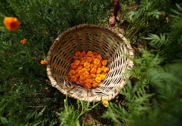 Plucked Marigold flowers used to make garlands and offer prayers are collected in a basket before selling them to the market for the Tihar festival, also called Diwali, in Kathmandu, Nepal October 17, 2017. (Photo by Navesh Chitrakar/Reuters)