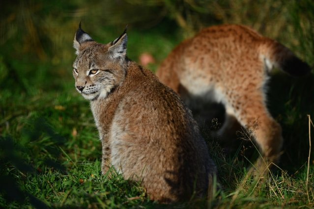 Northern Lynx kittens, explore their enclosure at the Highland Wildlife park on October 9, 2012 in Kingussie, Scotland. The feline twins are believed to be the type of lynx found historically in Scotland. The Highland Wildlife Park specialises in Scottish animal species, both past and present, and species that are well adapted to cold weather.  (Photo by Jeff J. Mitchell)