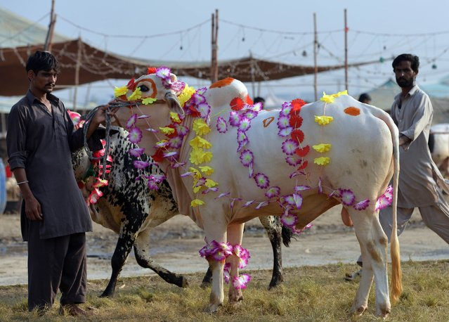 A Pakistani livestock trader stands with a decorated cow as he waits for customers at the one of the main animal markets set up for the forthcoming sacrificial Eid Al-Adha festival in Islamabad on September 29, 2014. Eid al-Adha, or the Feast of Sacrifice, honours Abraham's willingness to sacrifice his son Ishmael on the order of God, who according to tradition then provided a lamb in the boy's place. (Photo by Aamir Qureshi/AFP Photo)
