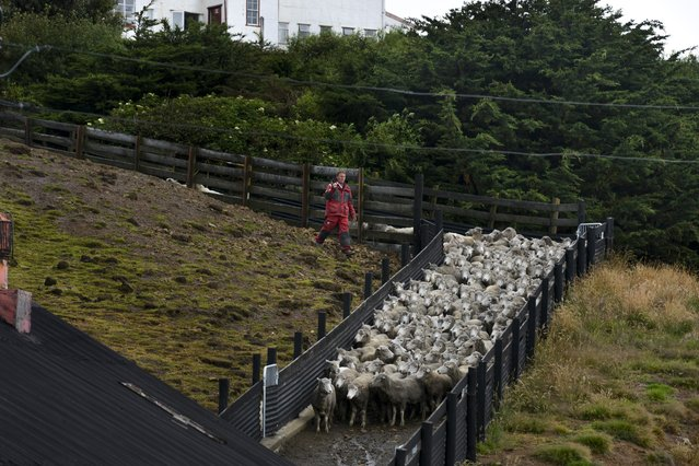 A member of the Lee family drives sheep into the family's shearing shed on Saturday, February 13, 2016, in Port Howard, West Falkland Islands. Their family owns 40,000 sheep and 300 cows on 230,000 acres of land.  Nearly half a million sheep populate the islands compared to roughly 2,500 people. (Photo by Jahi Chikwendiu/The Washington Post)